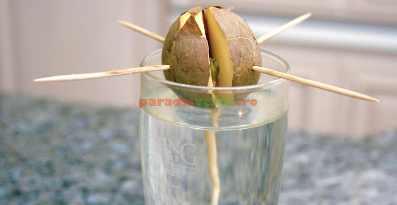 Sâmburele de avocado se pune cu baza într-un pahar cu apă, fixându-se cu scobitori.