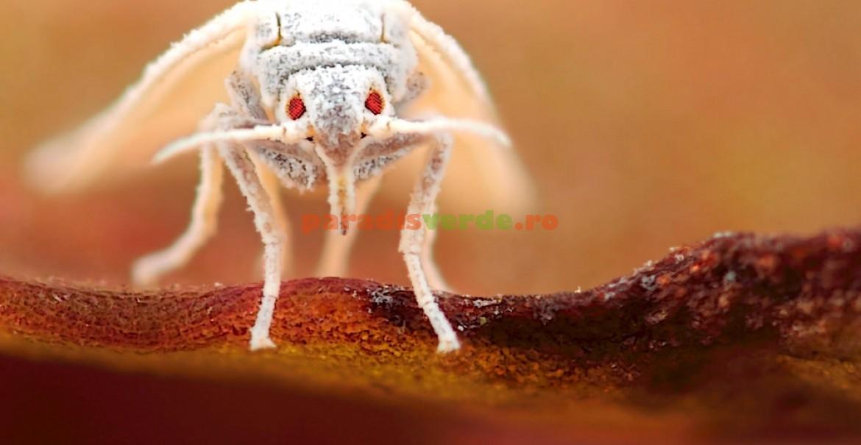 Musculita albă de seră