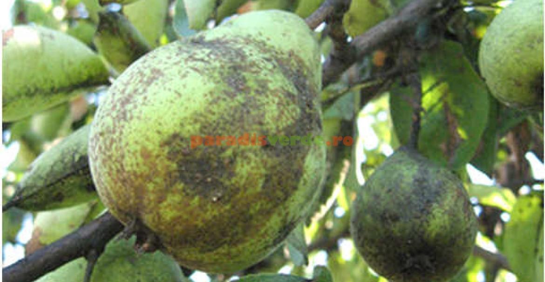 Pere și frunze atacate de puricele melifer al părului, acoperite cu fumagină