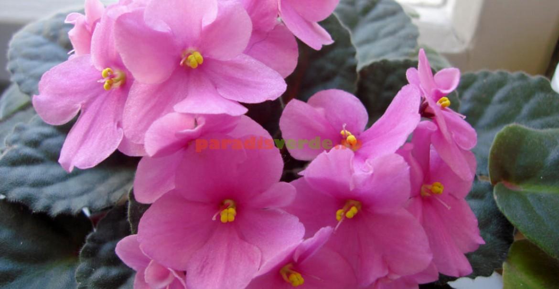 Violeta de Africa, roz