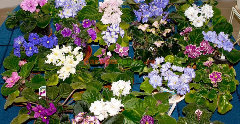 """Violeta de Africa, diferite varietăţi cu un lucru comun: """"ochiul"""" galben din centrul florii, caracteristic speciei"""