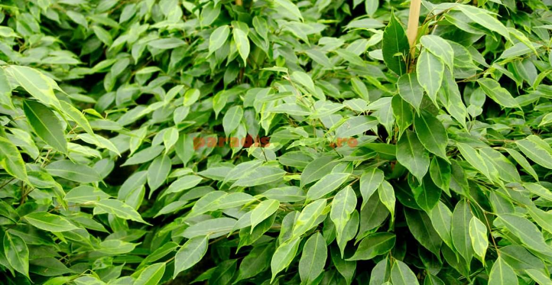 Ficus benjamina, cu frunze verde-închis