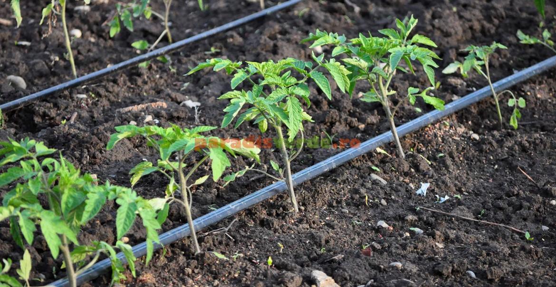 Distanţa dintre răsadurile de tomate.