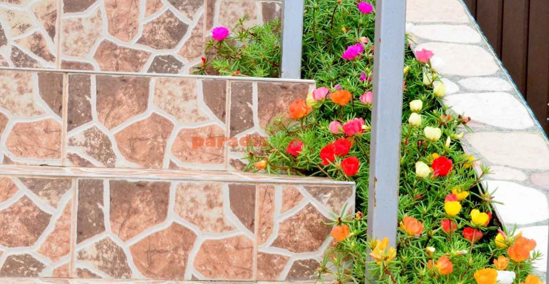 Portulaca înfrumuseţează locuri imposibile pentru alte plante.