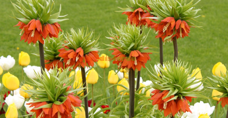 Floarea Paştelui cu lalele