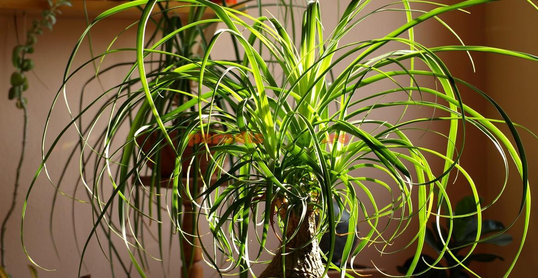 Arborele butelcă este o plantă foarte ușor de întreținut.