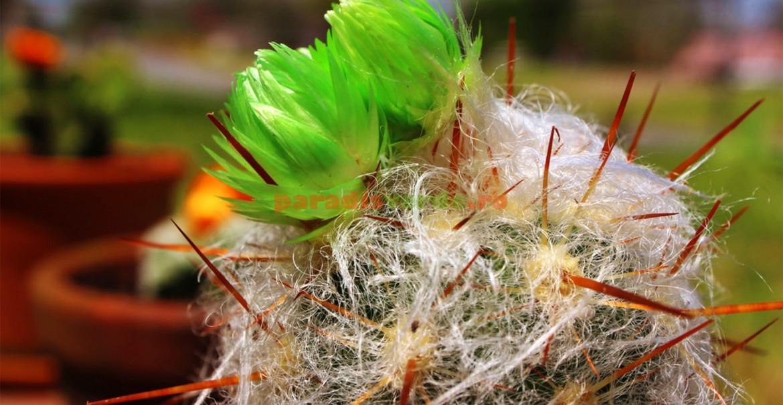 Cactus lânos