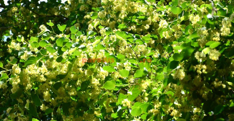 Tei înflorit: parfum sublim, pe fundal de zumzet de albine!