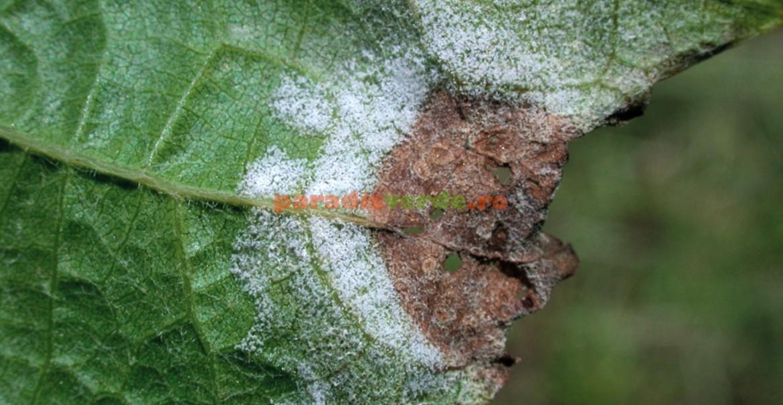 Ciuperca manei viței-de-vie în faza de sporulație, pregătită să infecteze și alte zone ale plantei