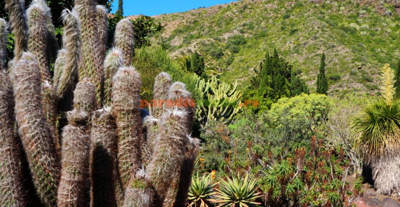 Cactusul lânos în mediu natural