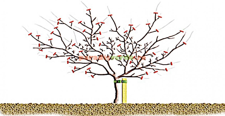 Diagramă de tăieri la pomii care rodesc pe ramuri specializate, în interiorul coroanei