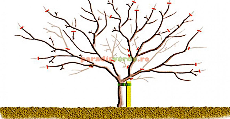 Schemă de tăieri la pomii care rodesc pe varful ramurilor