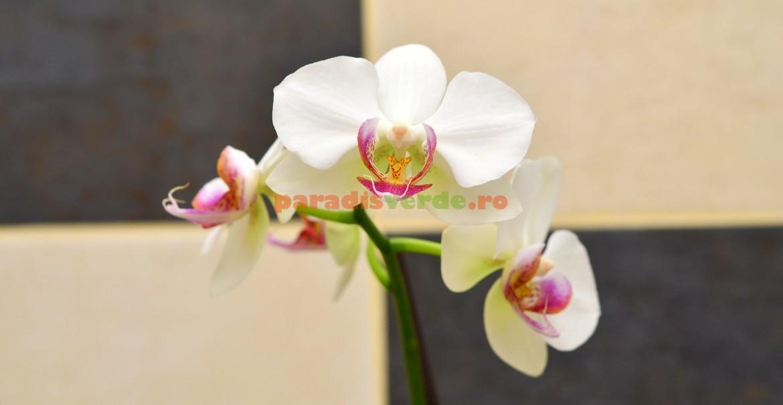 Frumusețea florilor orhideei explică deosebita sa popularitate