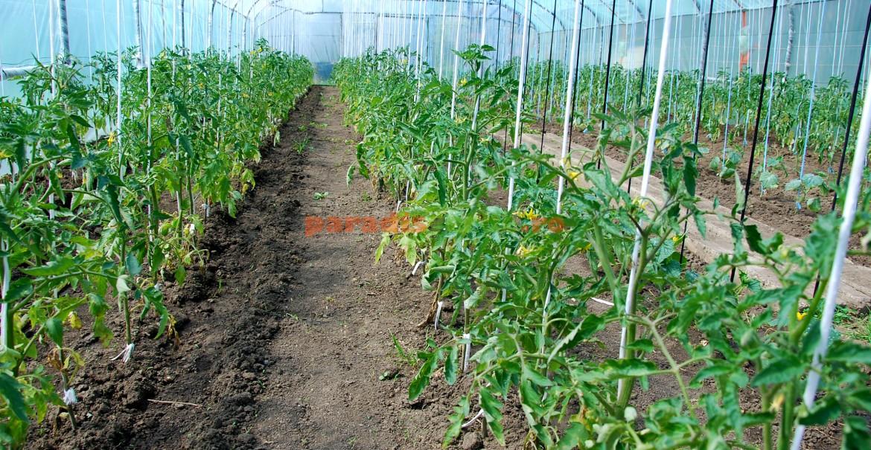 Legumele cultivate în solar se simt cel mai bine în jurul temperaturii de 25ºC