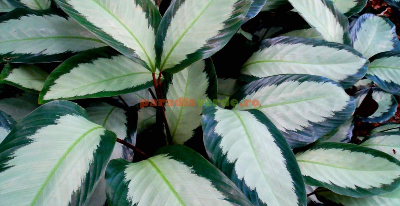 Calathea picturata, Argentea: contrast de verde