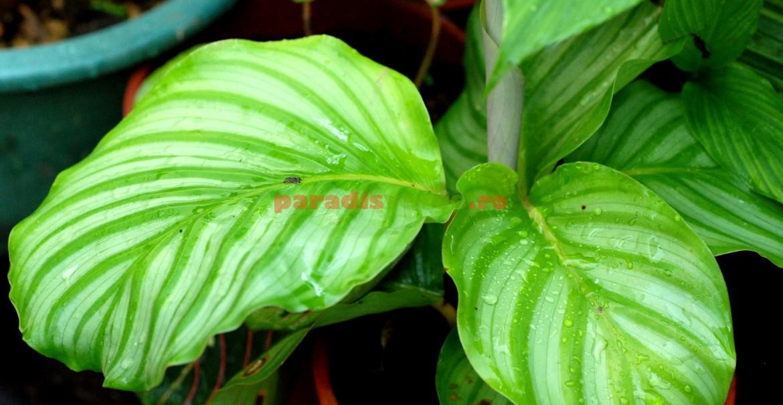 Calathea rotundifolia, Oppenheimer