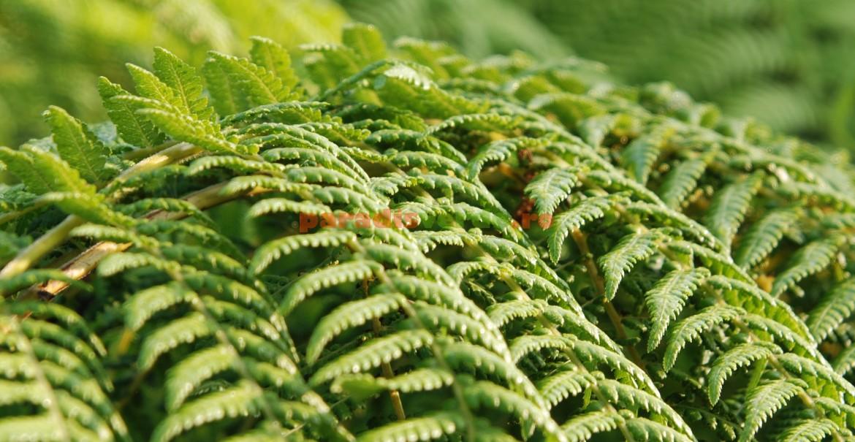 Dicksonia antarctica: o ferigă arborescentă