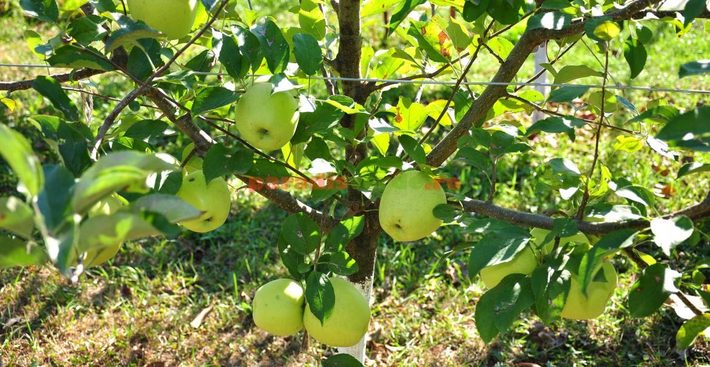Măr Auriu de Bistrița, în al 4-lea an de la plantare