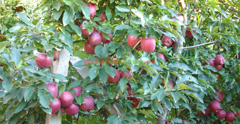 Palmetă de măr Starkrimson, în al 8-lea an de la plantare