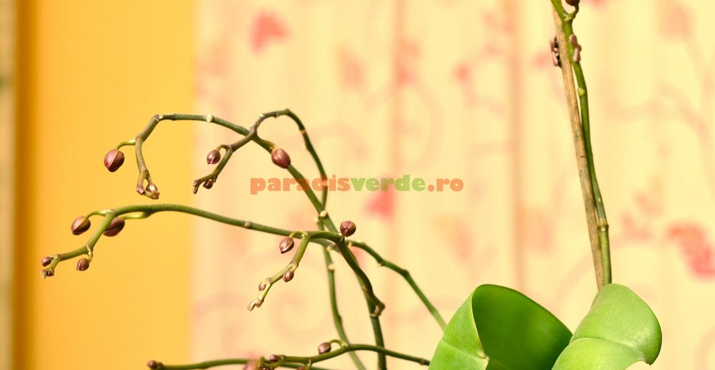 În cazuri excepționale, mugurele din capătul tijei începe iar să crească, producând noi boboci florali
