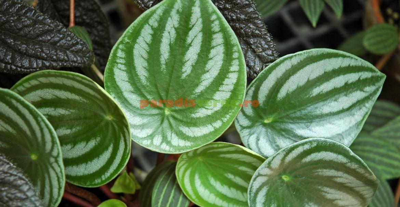 Peperomia argyreia: frunze umbrite de argintiu