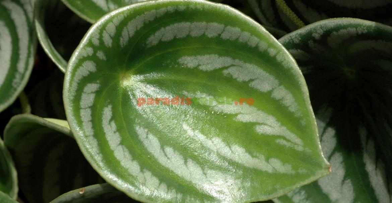 Peperomia argyreia: frunze umbrite de argintiu.