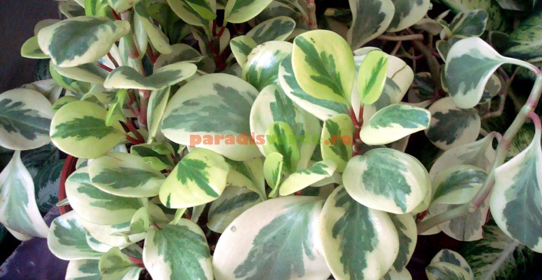 Peperomia obtusifolia, Variegata