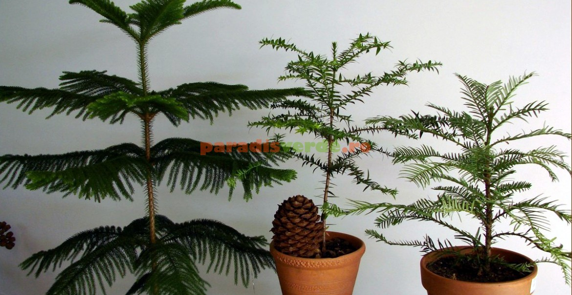 Pin de Norfolk: elegant conifer de interior