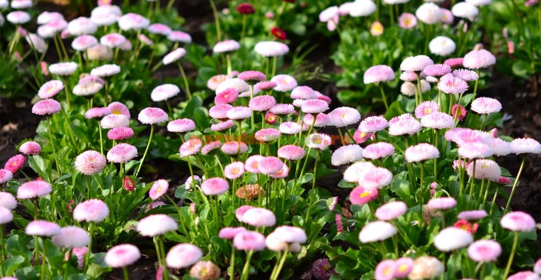 Unele varietăți de banuți cu flori mai sofisticate sunt cultivate în grădini pentru aspectul ornamental.
