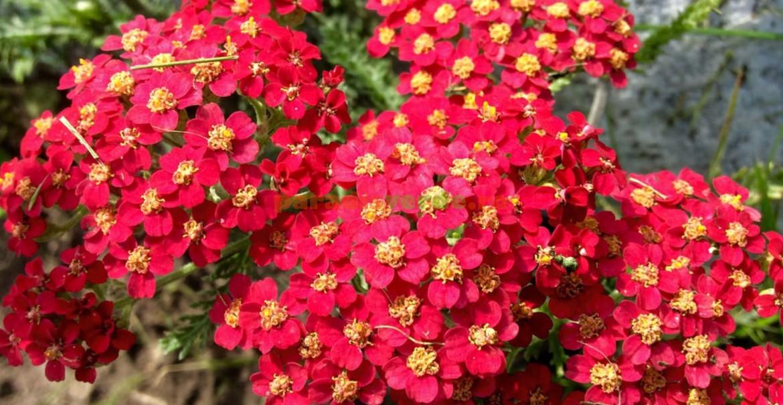Coada șoricelului cu flori roșii