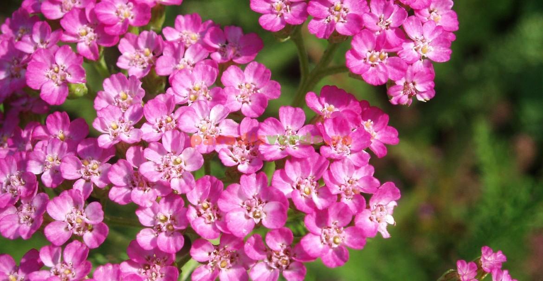 Coada șoricelului cu flori roz