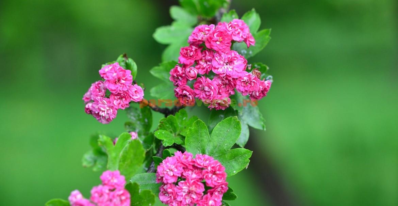 Varietate de paducel cu flori roz