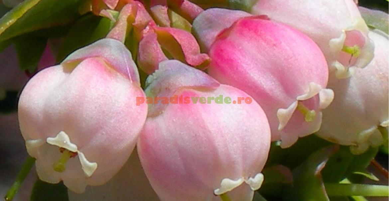 Flori de afin