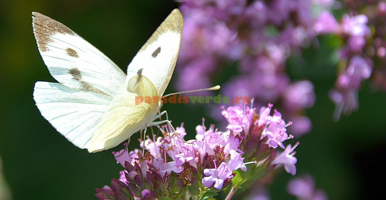 Fluturele alb al verzei, atras de nectarul florilor de cimbrișor