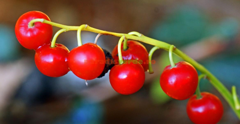 Fructe de lăcrămioare