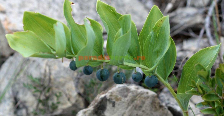 Fructe de Pecetea-lui-Solomon