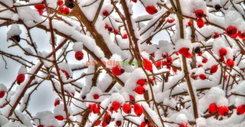 Fructele de măceș acoperite de zăpadă, un tablou excepțional!