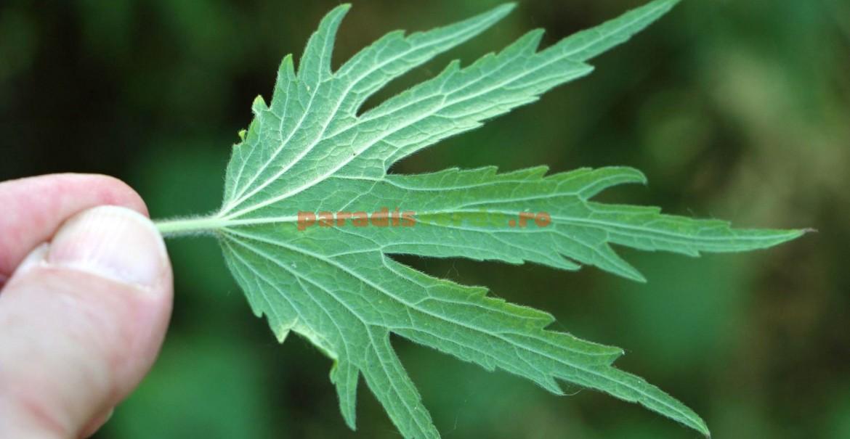 Frunza inconfundabilă, ușor de recunoscut