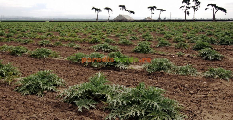 Plantație de anghinare
