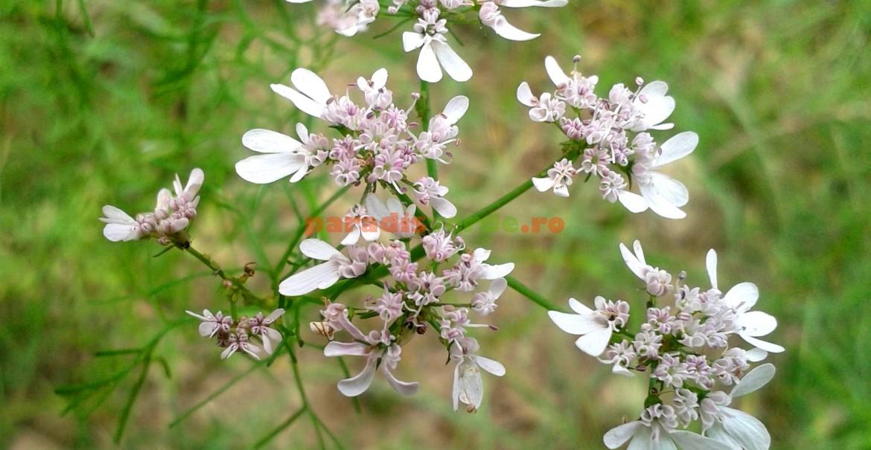 Flori de coriandru