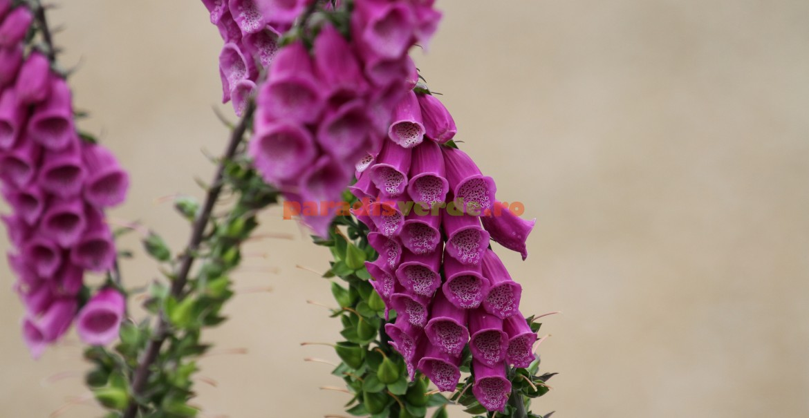 Digitalis purpurea - floare