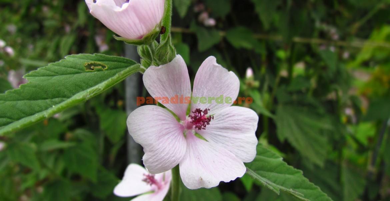 Flori de nalbă-mare
