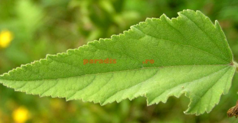 Frunză de nalbă mare