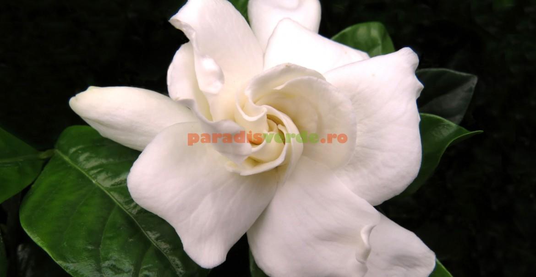 Gardenia - parfum fără egal!