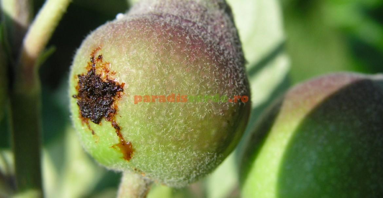Larva viespii pătrunde în miezul mărului și mănâncă semințele