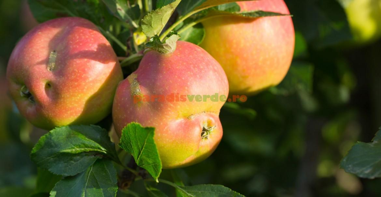 Cicatrice tipică lăsată de viespea merelor
