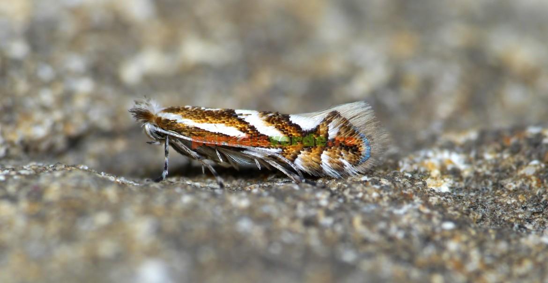 Adultul moliei minatoare, ușor de recunoscut