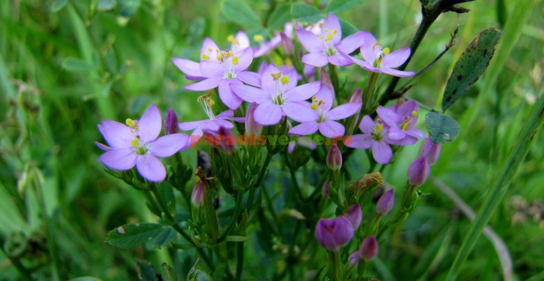 Floare de țintaură