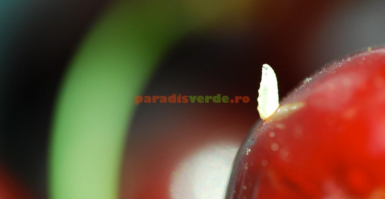Musca cireșelor, la încheierea stadiului larvar