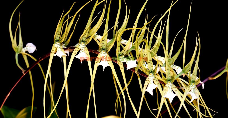 Brassia - udare generoasă doar în perioadele de creștere activă